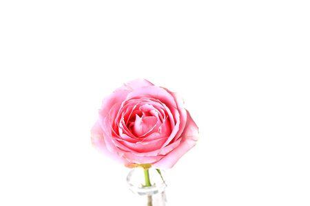 tinge: Pink rose isolated on white background