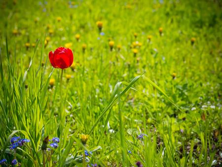 Red tulip in the garden. Summer background. Spring.