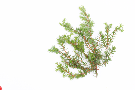 Thuja branches isolated on white background