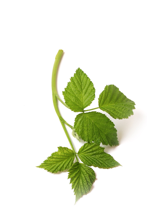 Green branch with leaves isolated on white background. raspberry branch