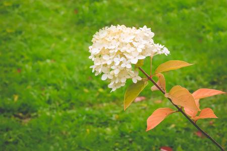 blooming white hydrangea in the garden.