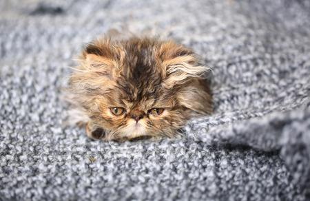 cute persian kitten lying on a knitted blanket