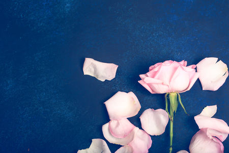 pink rose with petals on a blue background