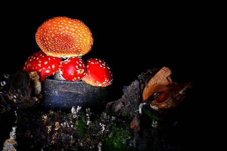 Amanita Muscaria in the old iron pot. poisonous mushroom fly agaric