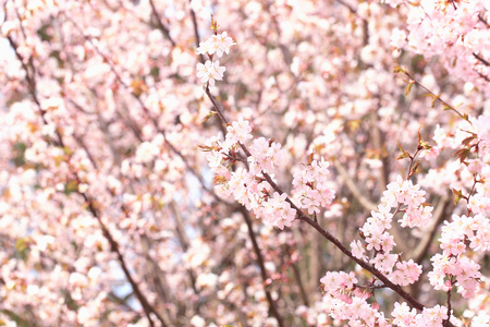 Sakura flowers on the tree branches in the park. gentle spring background