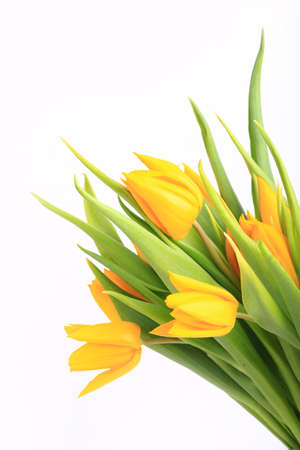 yellow tulips isolated on white background.