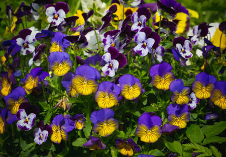 Flowers are viola in the garden. Summer background. Spring. Flowering spring flowers
