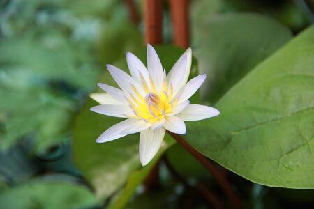 white lotus Nymphaea lotus Linn Stock Photo