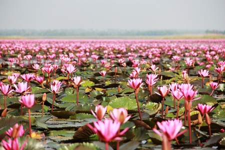 lotus flower blossom swamp,Udonthani,Thailand
