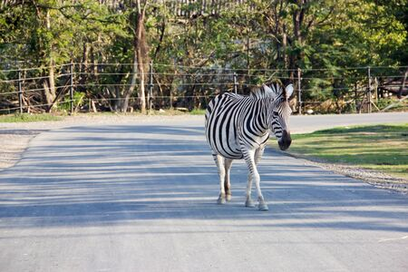 Zebra on street in the zoo,Thailand. Editorial