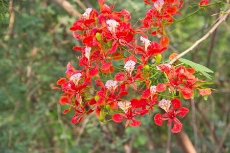 Closeup of Gulmohar flowers(Peacock flowers)on poinciana tree