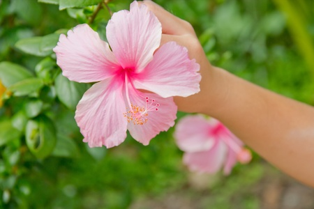 Hands plucking off  pink flower,pink hibicus.
