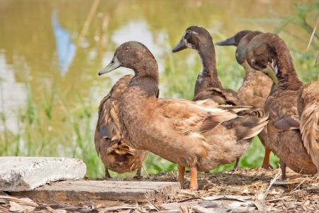 Ducks in the farm. Stock Photo - 13639862