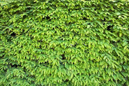 Green leaves wall,Leucaena leucocephala or Herbal ipil ipil bean photo