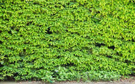 Green leaves wall,Leucaena leucocephala or Herbal ipil ipil bean [Leucaena leucocepphala (Lam.) de Wit] photo