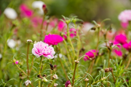 colorful portulaca flowers in the garden