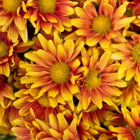 Colorful autumnal chrysanthemum background photo