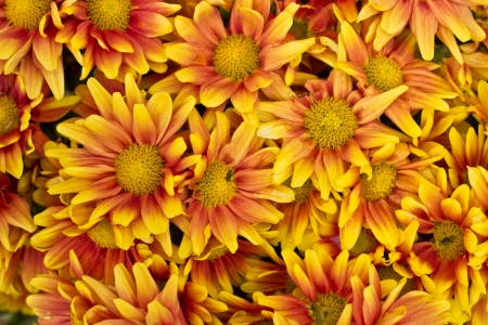 Colorful autumnal chrysanthemum background