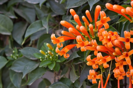 Orange trumpet, Flame flower, Fire-cracker vine on the wall Stock Photo - 17743008