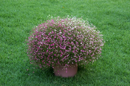 Gypsophila flower with grass background