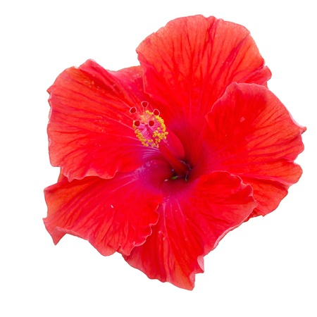 red hibiscus flower isolated on white with clipping path