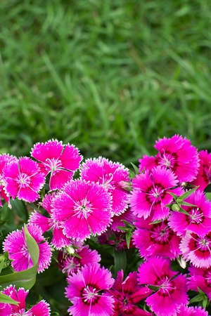 Dianthus chinensis (China Pink)flower with grass background Stock Photo