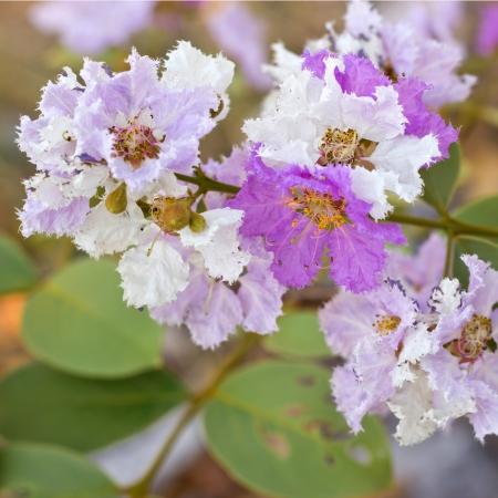 annonaceae: Cananga flower (Cananga odorata) ANNONACEAE
