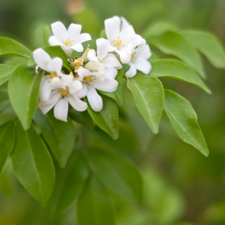range Jessamine flowers  Satin-wood,Cosmetic Bark Tree
