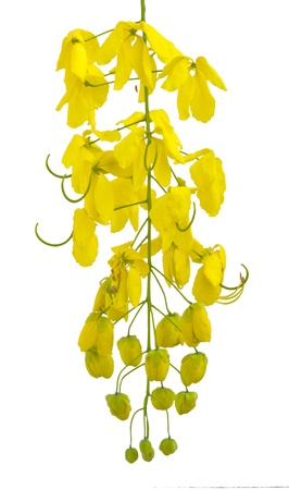 Golden shower Cassia fistula  in Thailand on white background