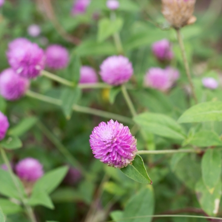 Globe amaranth or Gomphrena globosa Stock Photo