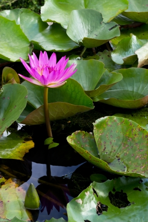 pink water lily flower blooming