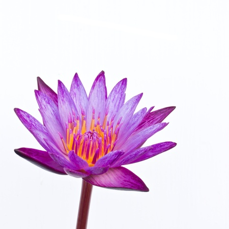 purple color blooming water lily or lotus flower on white photo