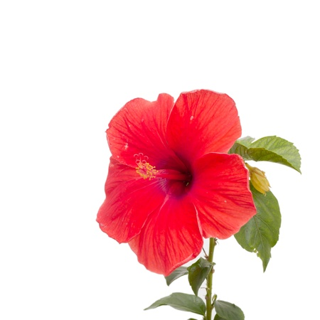 Close-up beautiful Hibiscus Flower on white background Banco de Imagens