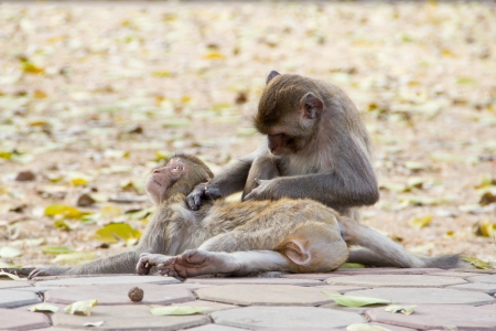 Macaque monkey in Thailand Stock Photo