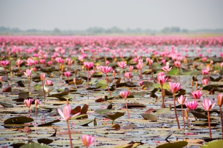Pink waterlily field in Nong harn lake , Udonthani, Thailand