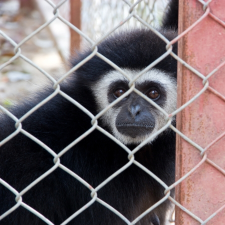 Sad gibbon behind the Cage. photo