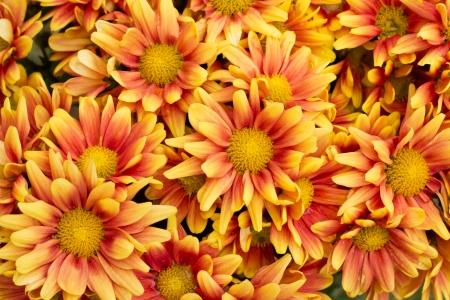 Yellow autumnal chrysanthemum background