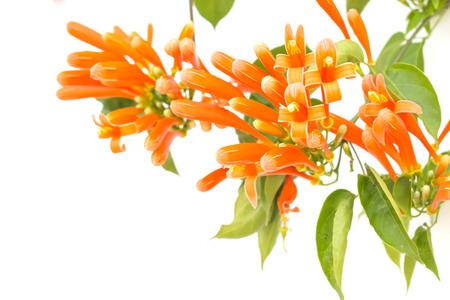 honeysuckle: Close up Orange trumpet, Flame flower, Fire-cracker vine on white background