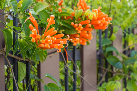Close up Orange trumpet, Flame flower, Fire-cracker vine on the fence