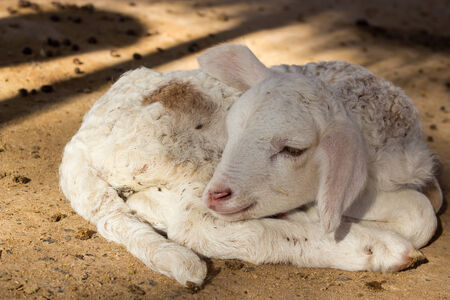 Lamb sleeping in the stables Stock Photo