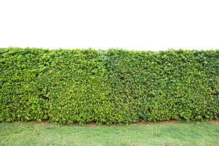 trimed shrub fence isolated on white photo
