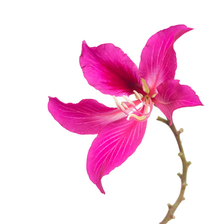 Butterfly Tree, Orchid Tree, Purple Bauhinia, isolated on white background