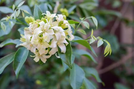 jessamine: variare Jessamine fiori (raso-legno, cosmetic c Corteccia di albero) Archivio Fotografico