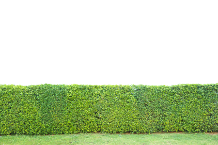 trimed shrub fence isolated on white photo