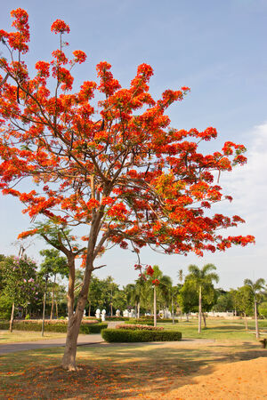 Flame Tree Flower or Peacock Flower in public park Stock Photo