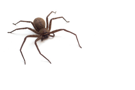 brown spider living  Huntsman spiders  in house isolated on white background
