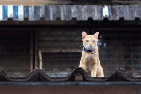 prowling: Close-up yellow cat sitting on the roof in Thailand