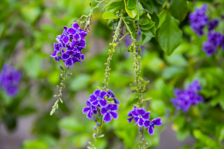 Golden Dew Drop, Pigeon Berry, Sky Flower   Duranta erecta