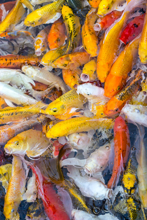 colorful koi carps surfaces in a feeding frenzy Stock Photo