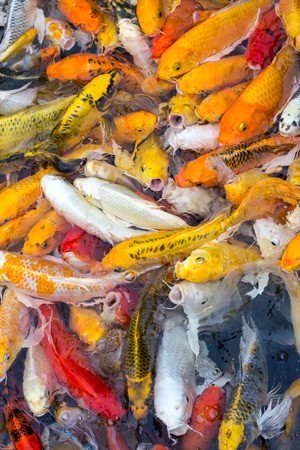 chagoi: colorful koi carps surfaces in a feeding frenzy Stock Photo